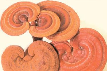 Ganoderma lucidum (Lingzhi & Reishi)